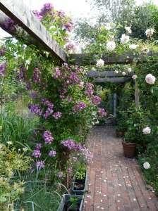 Pergola and Vielchenblau Rose: our Garden