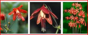 Bessera Elegance photos from web. Hope ours flower as well as these!