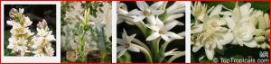 Polianthes tuberosas photos taken from web