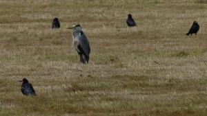 Grey Heron and Gosander and chicks