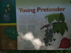 Birnam Wood oak trees and the Young Pretender