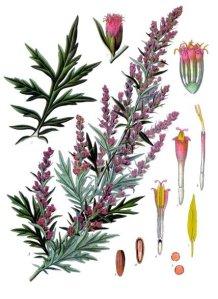 Artemisia_vulgaris
