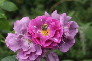 rhapsody in blue and bee