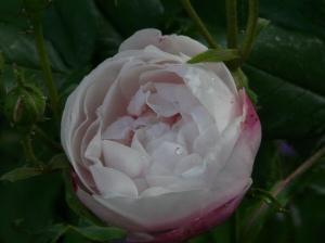 rose 2011 may
