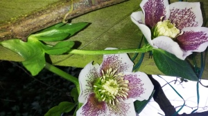 hellebore single speckled