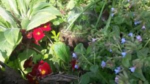primrose and pulmanaria