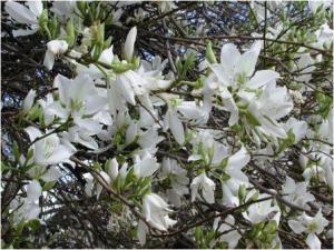 Kachnar white