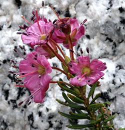 Kalmia_mountain laurel relative