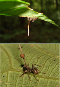 800px-Ophiocordyceps_unilateralis