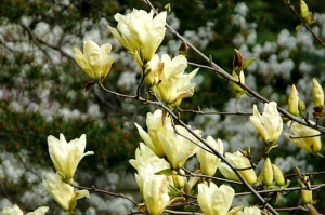 magnolia-yellow-river