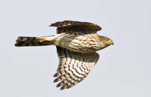 sharp-shinned_hawk