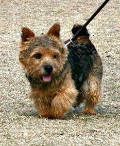 A_Norwich_Terrier